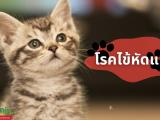 โรคไข้หัดแมว เชื่อว่าในหมู่คนเลี้ยงสัตว์ ไม่มีใครหรอกค่ะที่อยากให้สัตวเลี้ยงที่น่ารักของเราไม่สบายแต่ว่าการเจ็บป่วยก็ยังสามารถเกิดขึ้นได้